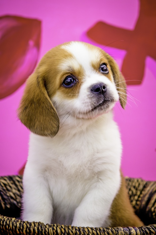 puppies for sale at Canine Corral Huntington Station, NY 11746